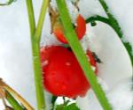 Подзимний посев помидоров