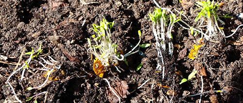 Посадка томатов осенью в компостную кучу