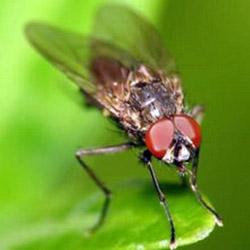 Березовый деготь от ростковой мухи