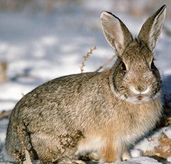 Березовый деготь от зайцев