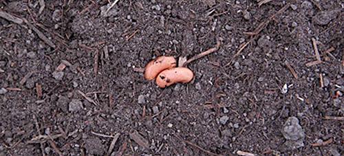 Как выращивать стручковую фасоль на даче