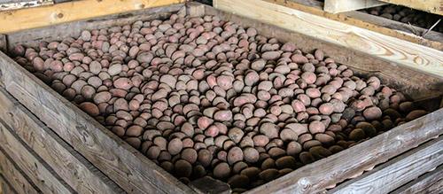 Выбор сорта картофеля для посадки