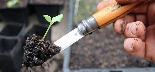 Выращивание рассады: пикировка