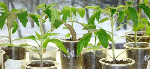 Как вырастить хорошую рассаду: закаливание