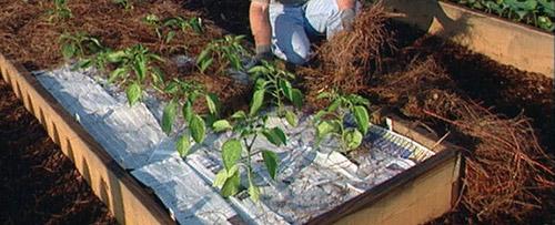 Мульчирование для хорошего урожая перца