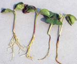 Как защитить рассаду от черной ножки