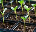Как вырастить крепкую здоровую рассаду: работа над ошибками