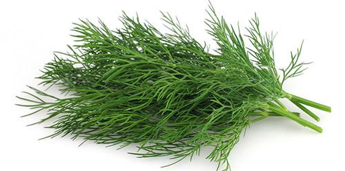 Выращивание ранней зелени: укроп