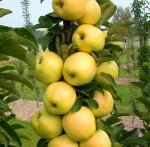 Хороший урожай с колоновидной яблони