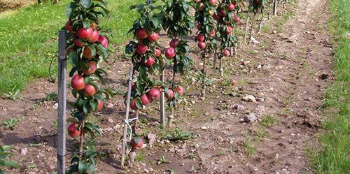 Как получить урожай с колоновидной яблони