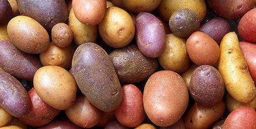 Низкий урожай картофеля что делать