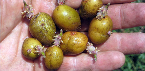 Низкий урожай картофеля почему