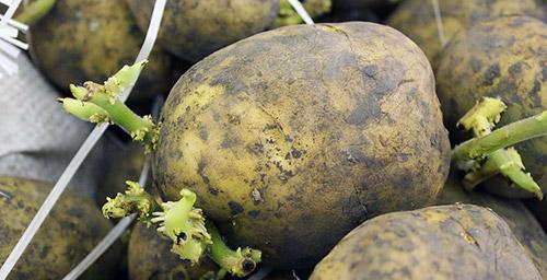 Причины низкого урожая картофеля