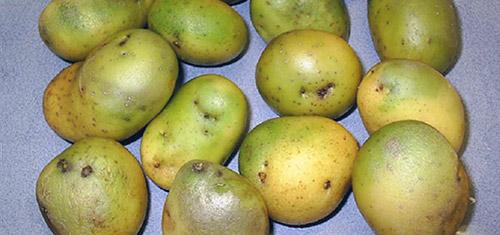Озеленение картофеля