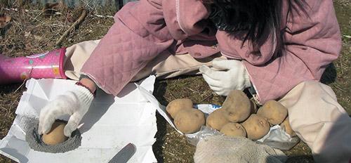 Опудривание картофеля золой