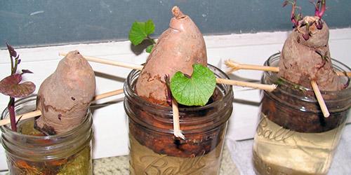 Проращивание клубней батата в воде