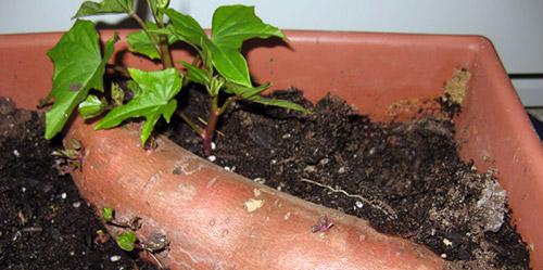 Проращивание клубней батата в земле