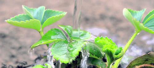 Как получить хороший урожай клубники: полив