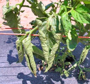 что делать скручиваются листья помидоров