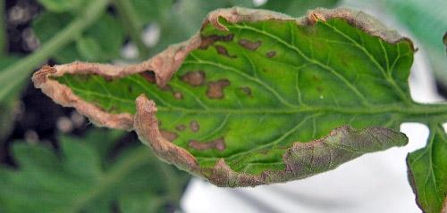 Что делать скручиваются листья у помидоров
