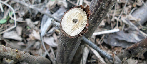 Смородинная стеклянница в стебле смородины