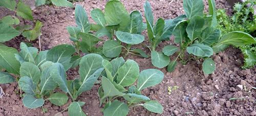 Повторные посевы: ранняя капуста