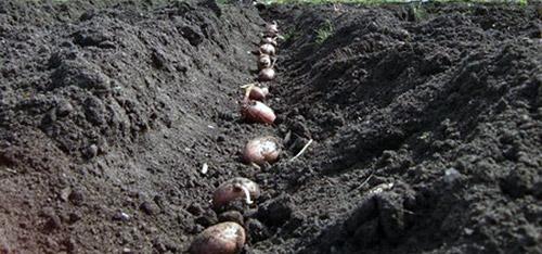 Повторные посевы: ранний картофель