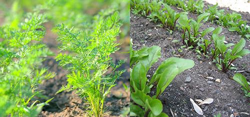Повторные посевы: морковь и свекла