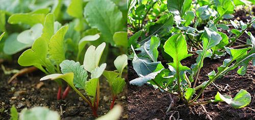 Повторные посевы: редис