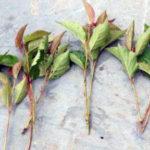 Корнесобственные плодовые: как вырастить яблоню и грушу из черенка
