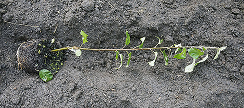 Выращивание корнесобственной груши или яблони