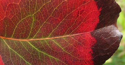 Отчего краснеют листья у груши