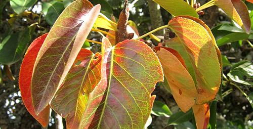 Покраснения листьев груши из-за избытка влаги