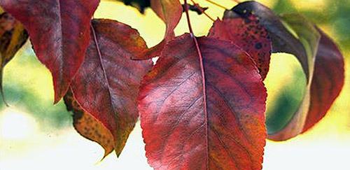 Покраснели грушевые листья
