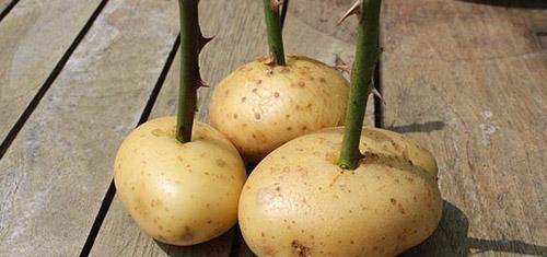 Стимулятор роста корней картофель