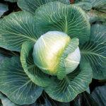 Лучшие сорта капусты для хранения, квашения и раннего потребления