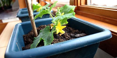 Выращивание огурцов на подоконнике: емкости и грунт