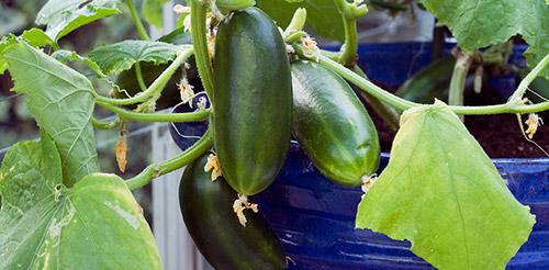 Выращивание огурцов на подоконнике: полив, подкормки