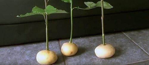 Как укоренять черенки: укоренение в картошке