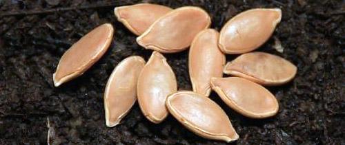 Выращивание тыквы: подготовка семян