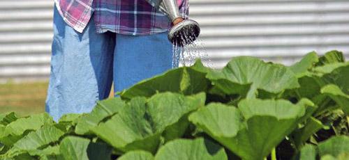 Выращивание тыквы: полив тыквы