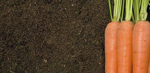 Почему морковь корявая и как этого избежать - Дачные