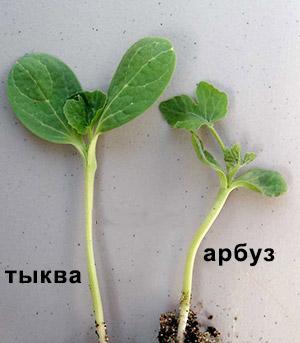 Как прививать арбузы на тыкву