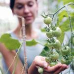 Десять мифов о выращивании томатов
