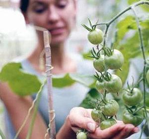 мифы о выращивании томатов