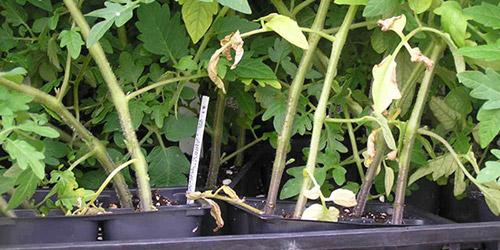 Почему у рассады огурцов сохнут края листьев у 43