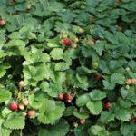 как вырастить клубнику без лишних усилий