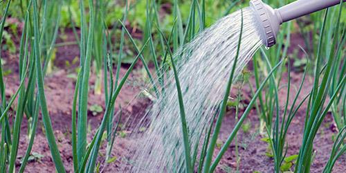 Как правильно поливать лук