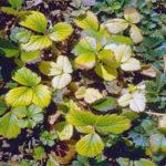 Почему желтеют листья клубники и что с этим делать