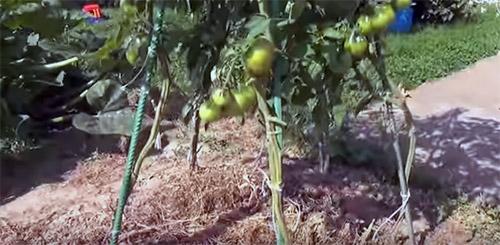 Как увеличить урожай томатов: проверенный способ - Дачные